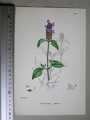 English Botany, J. Sowerby, handcoloured Lithograph, Plate 1059, 3.Edit. 1880.