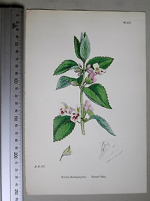 English Botany, J. Sowerby, handcoloured Lithograph, Plate 1062, 3.Edit. 1880.