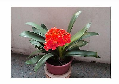 FREE SHIPPING!!!  Red Clivia Seeds. Balcony Plant Flower Seeds 1 PC