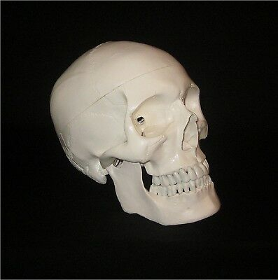LIFE SIZE HUMAN SKELETON SKULL ANATOMICAL ANATOMY 1st QUALITY STUDY MODEL