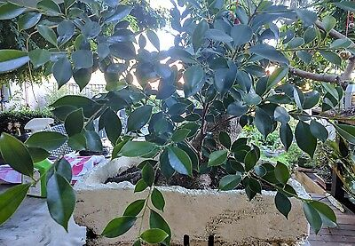 Large fig bonsai material - Ficus Microcarpa