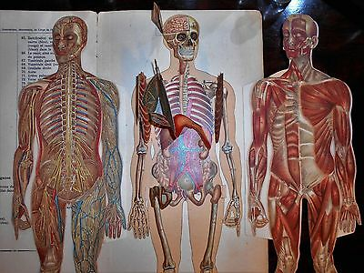 Anatomical Manikin of the Human Body Very Rare Large 1895 French Student Edition