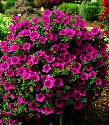 Surfinia - million bells - seeds - 5 colours to choose from