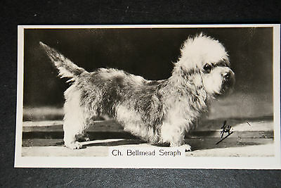 Dany Dinmont Terrier   Champion  1930's Vintage Photo Card   # VGC