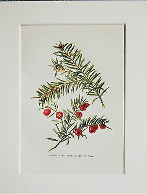 Yew Tree Berries. - Mounted Antique Botanical Print, Colour Lithograph