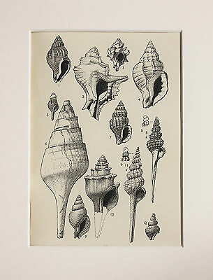 Shells Seashells Mollusc - Antique Natural History Print Lithograph - Mounted 23