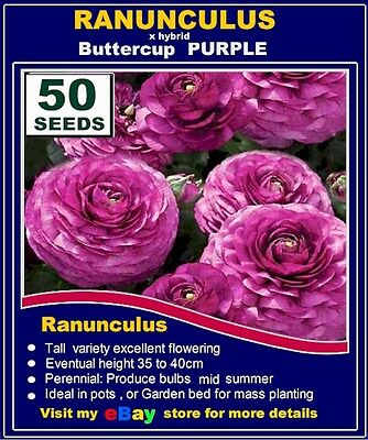 RANUNCULUS Poppy SEEDS-  Purple - MULTI  LISTING
