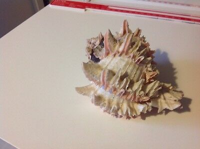 Large Decorative Conch Ocean Sea Shell Appro 13Cm Long