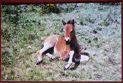 Horse Postcard- New Forest Foal