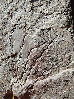 A FAINT 500 Million Year Old Gogia Granulosa Eocrinoid Fossil From Utah 331gr *H