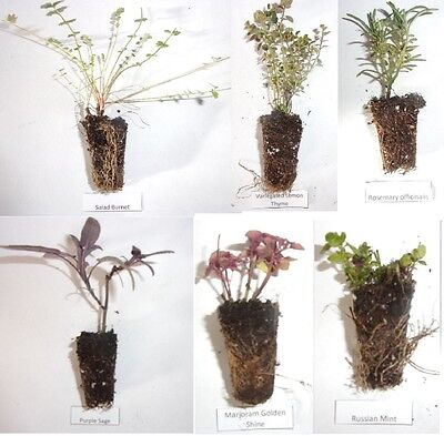 6 x Mixed Herb Culinary Plug Plants Thyme Mint Rosemary Marjoram Sage Parsley