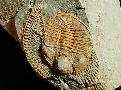 A Very RARE 100%Natural Declivolithus Trilobite Fossil Found in Morocco 141gr *D