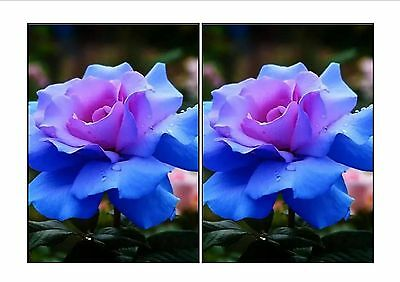 High-quality flower seeds. blue pink heart rose seed. 200 PC