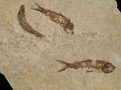 School of THREE! Small 50 Million Year Old 100% Natural Fish Fossils Wy 198gr