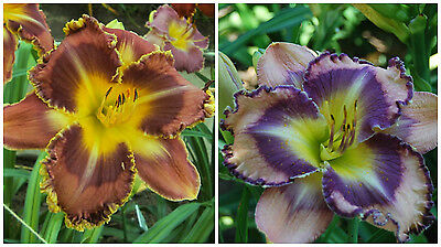 Daylily Hémérocalle Lis N18: 2 seedlings X sdlg 20-159 = 5 graines seeds