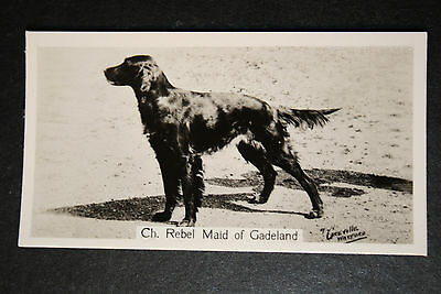 Irish Setter   Champion  1930's Vintage Photo Card # VGC