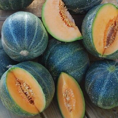 Melon Petite Gris EARLY Delicious RARE  French Heirloom 20+ FRESH ORGANIC SEEDS