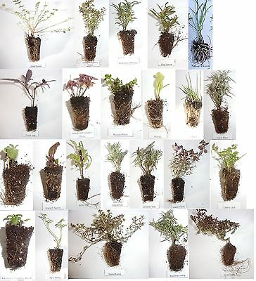 Pick & Mix From 24 Culinary Kitchen Mixed Herbs Plug Plants £1.10 each Low Post