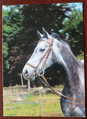 Horse Postcard- Lovely Iron Grey- Photo Guy Withers