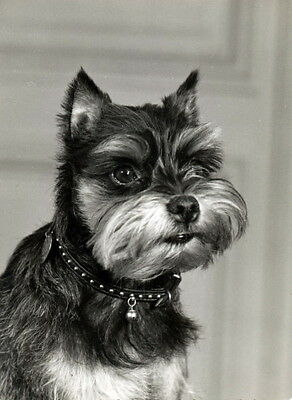 Vintage Photo~Affenpinscher Puppy Dog Profile~NEW Large Note Cards