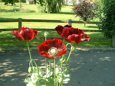 Poppy - pack of 500+ seeds - rich purple / red - 2016 - Harvest (see photos) !
