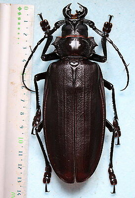 Insects for study and collection for French Guiana  TITANUS GIGANTEUS 130 mm A1
