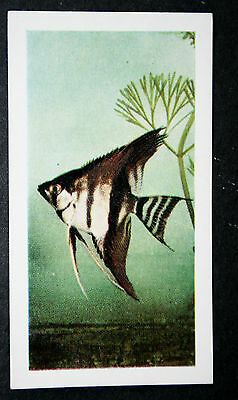 Tropical Fish Keeping   Vintage Colour Photo Card  VGC