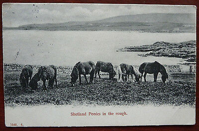 Vintage Horse Postcard- Shetland Ponies in the Rough- Posted 1909