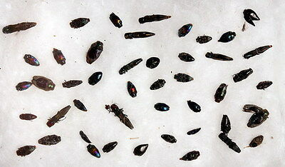 Insects for study and collection for French Guiana  BUPRESTIDAE