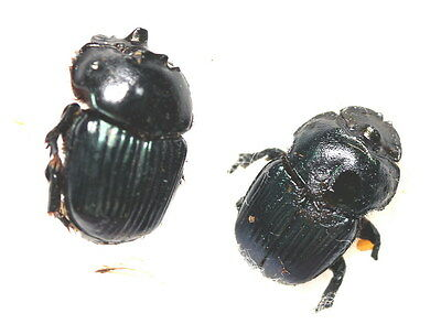 Insects for study and collection for French Guiana  DENDROPAEMON ATTALUS pair