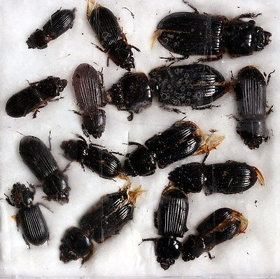 Insects for study and collection for French Guiana  PASSALIDAE2