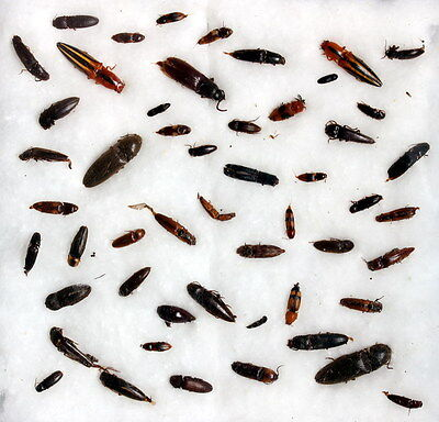 Insects for study and collection for French Guiana  ELATERIDAE1