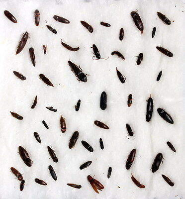 Insects for study and collection for French Guiana  ELATERIDAE2