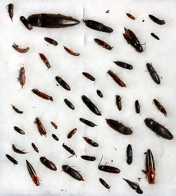 Insects for study and collection for French Guiana  ELATERIDAE3