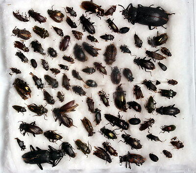 Insects for study and collection for French Guiana  TENEBRIONIDAE1