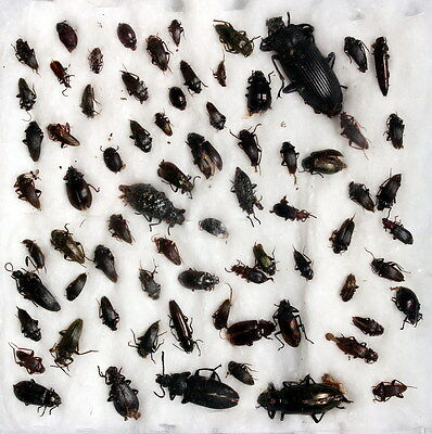 Insects for study and collection for French Guiana  TENEBRIONIDAE4