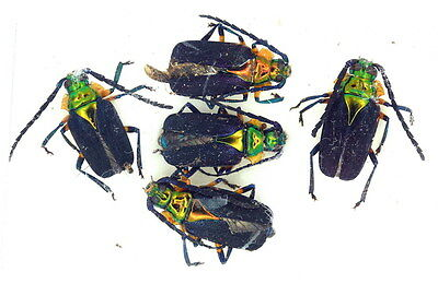 Insects for study and collection for French Guiana  PRIONIEN E.COERULEA X5