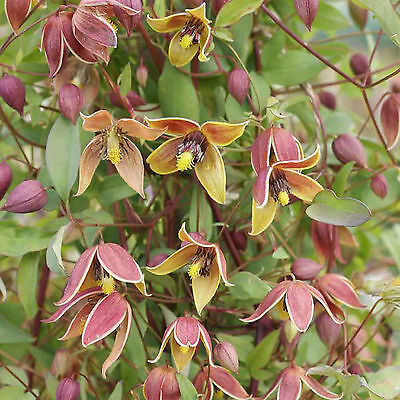 Clematis - My Angel - seeds