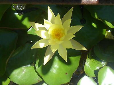 3 x Water Lillies Lilly Pond Plant Yellow Flower  - Selling Within Victoria Only