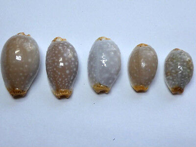 Seashell,Cowry,Cypraea Facifer,set of 5