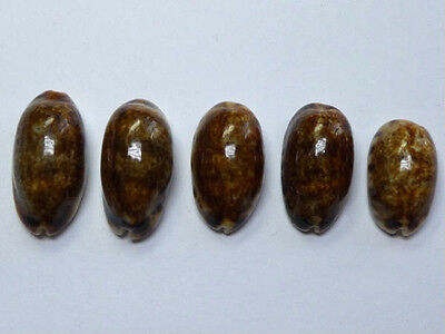 Seashell,Cowry,Cypraea Listeri,Melanistic & rostrate set of 5