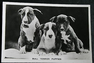 English Bull Terrier Puppies   Vintage 1930's Photo Card # VGC