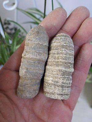 30G & 38G Natural Solitary Coral Fossil B57