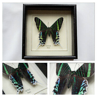 Real Leilus Butterfly Hand Set and Framed in UK Beautiful Gift - Taxidermy