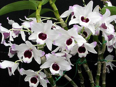 Softcane Dendrobium Orchid Crystal Voyager No1