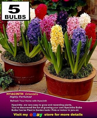 HYACINTH  Bulbs - RED Colours * Highly Perfume-  MULTI  LISTING
