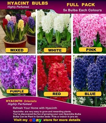 HYACINTH  BULBS  - PURPLE Colour * Highly Perfume- MULTI  LISTING