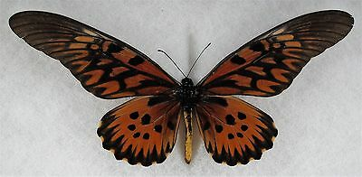 """Insect/Buttefly/ Papilio antimachus - Male 8 1/4"""""""
