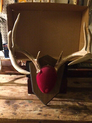 """8 Point Whitetail Deer Antlers On Plaque  15"""" Wide--11"""" Tall--6 1/2""""  Long Tine"""