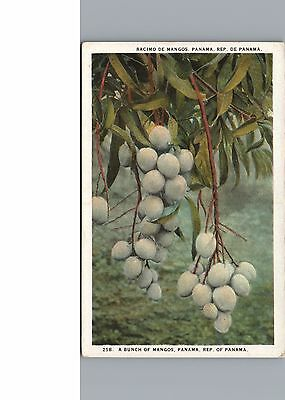 Postcard Panama A Bunch of Mangos Growing Vintage White Border